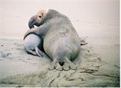elephant seal with baby on the beach