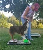 Australian shepherd with trainer