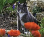 Gray and white cat with orange poppies in foreground