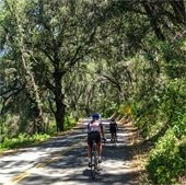 Cyclists riding under a canopy of oaks