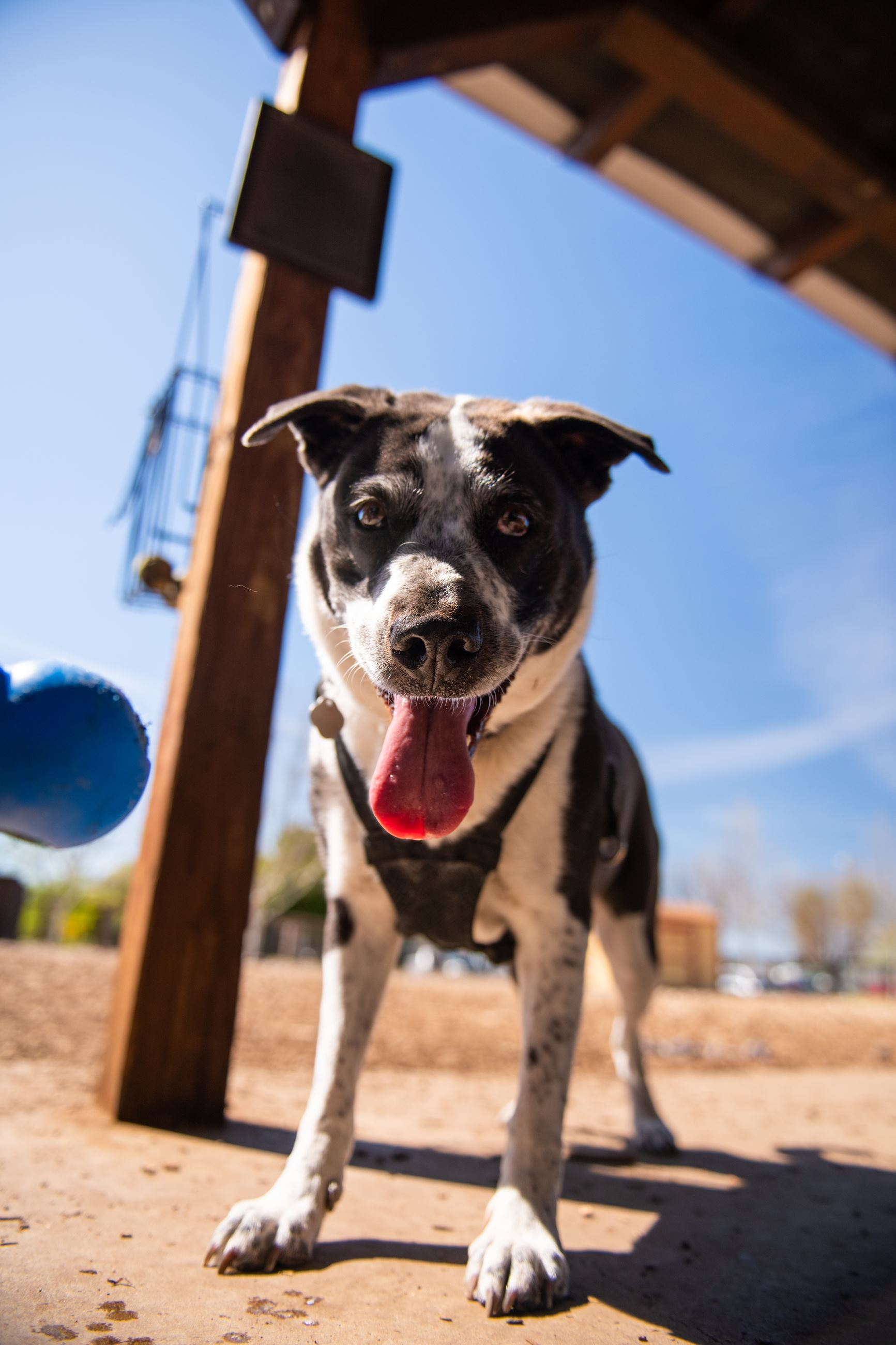 Golden Retriever at Sherwood Dog Park